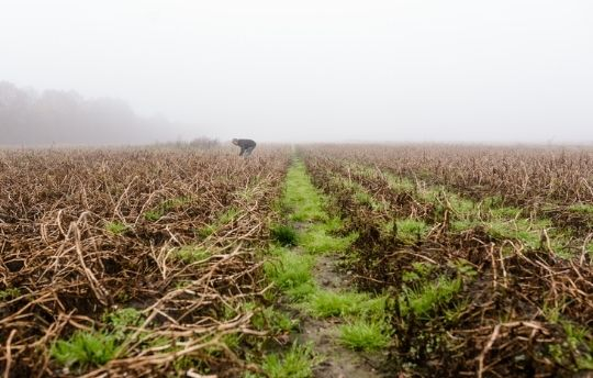 Potato dessication - biomass density