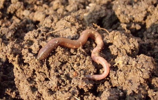 Worm - Soil humus