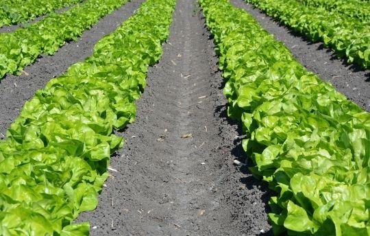 Spray inbetween row crop