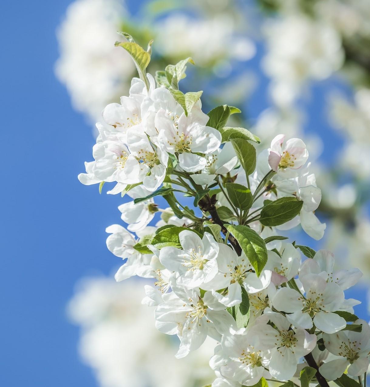 Blossom apple